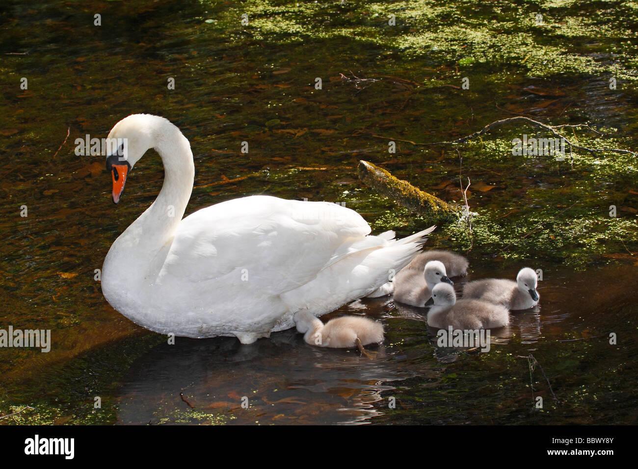 Mute Swan (Cygnus olor) with chicks Stock Photo