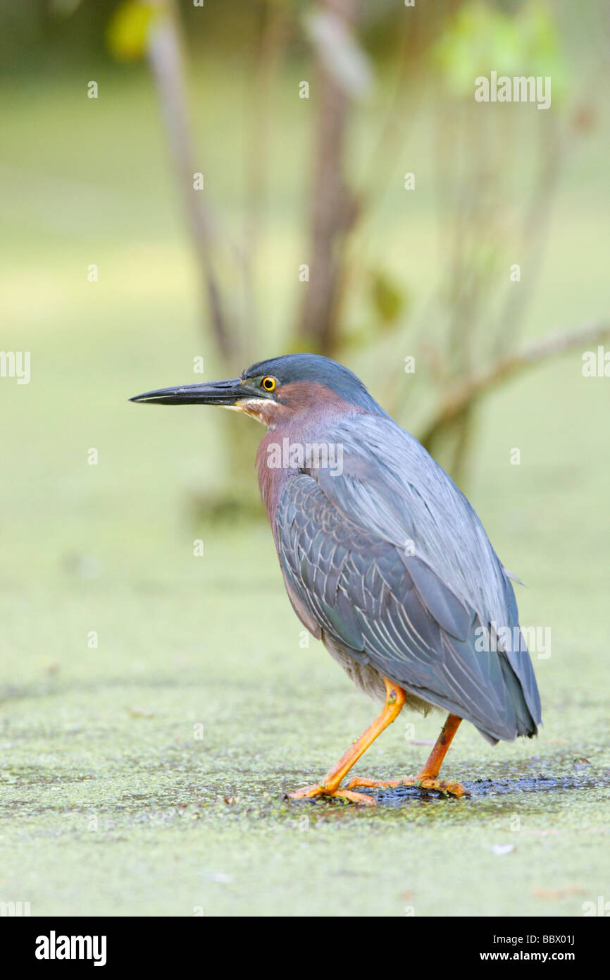 Green Heron - Vertical - Stock Image