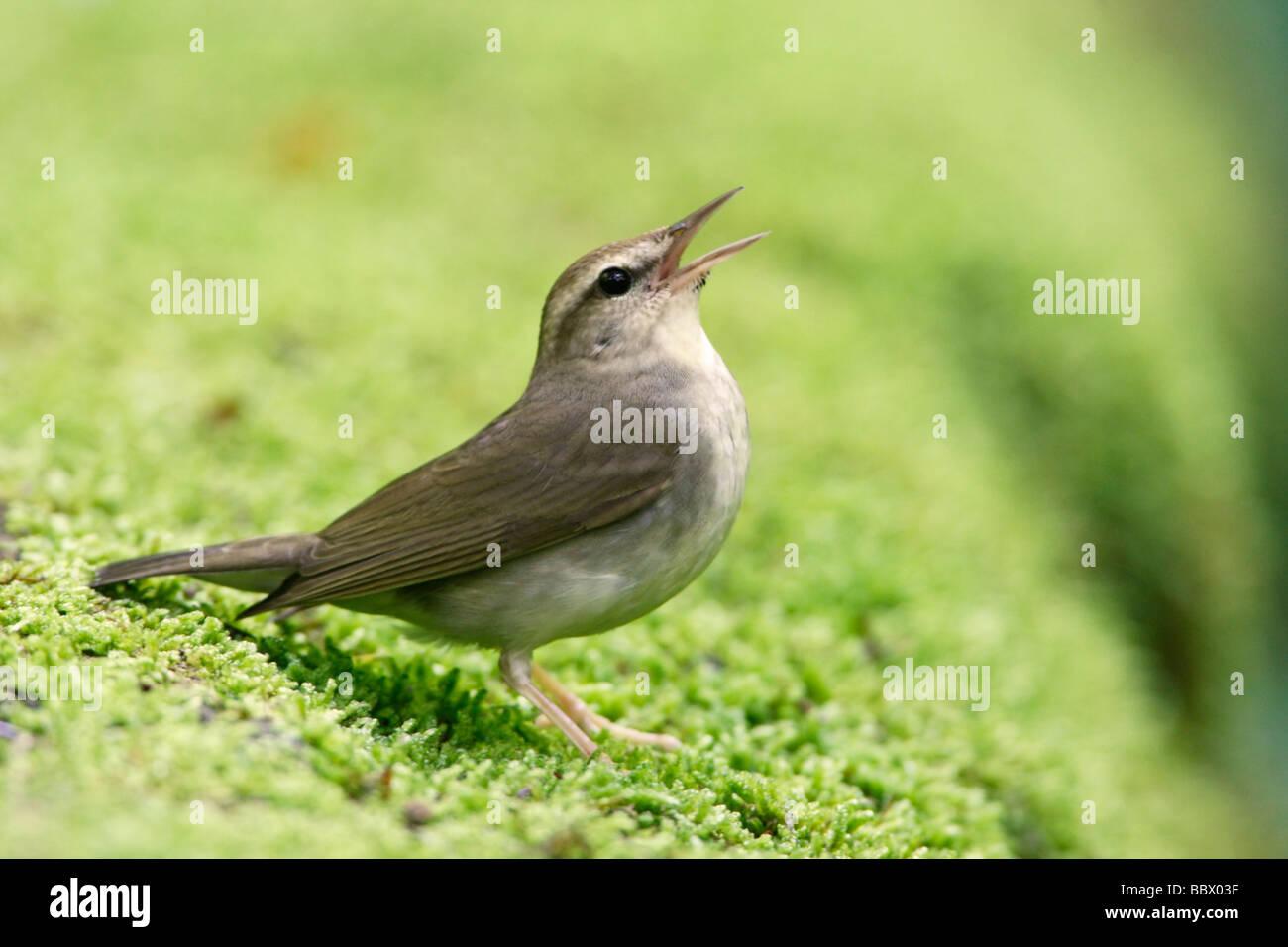 Swainsons Warbler singing - Stock Image
