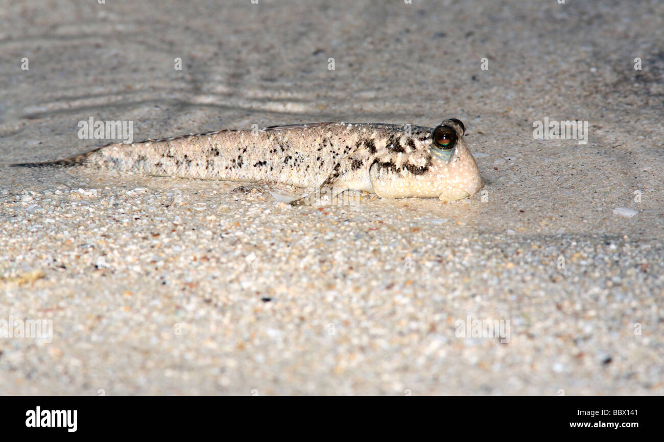 A Mudskipper On The Shore These Fish Can Stay Out Of Water For A Long Stock Photo Alamy