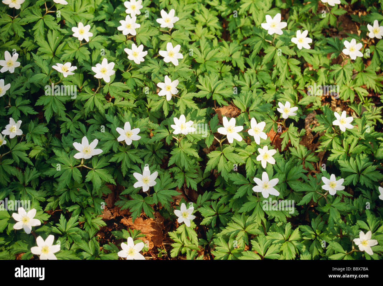 Green Plants With White Flowers Stock Photo 24548142 Alamy