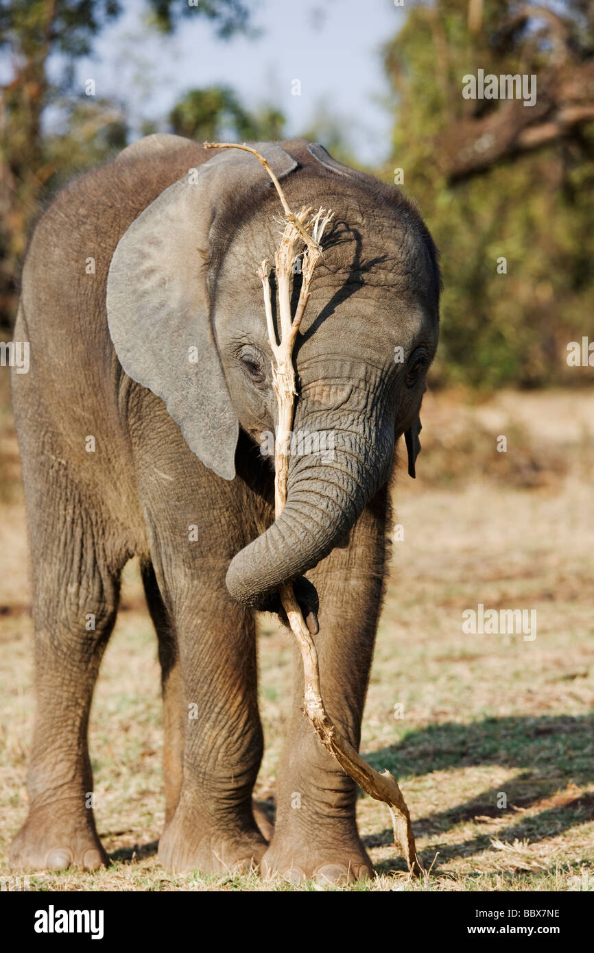 African elephant Loxodonta africana Young calf playing with tree branch South Africa Dist Sub Saharan Africa - Stock Image