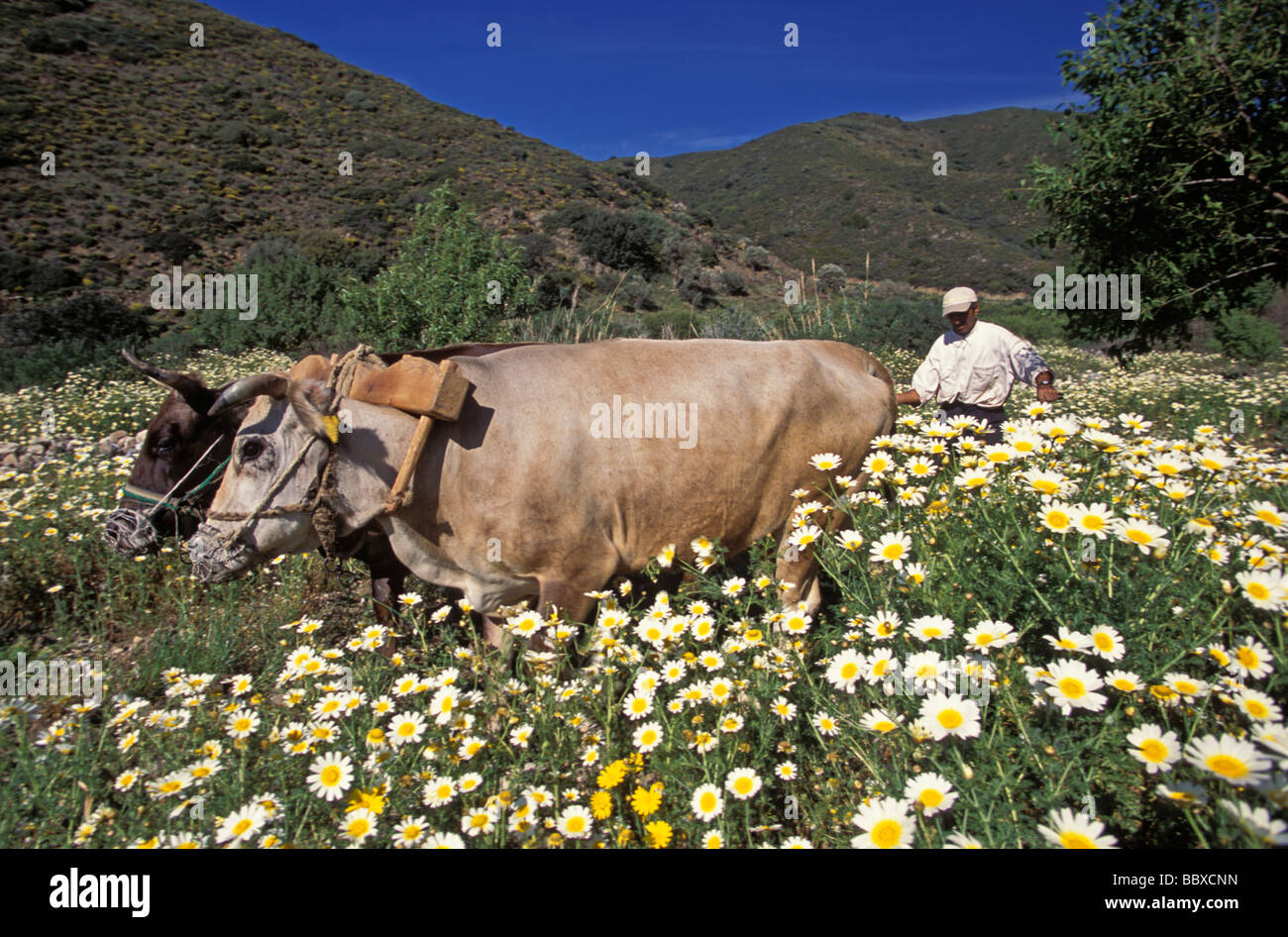 Farmer plowing with oxes Datca Turkey - Stock Image