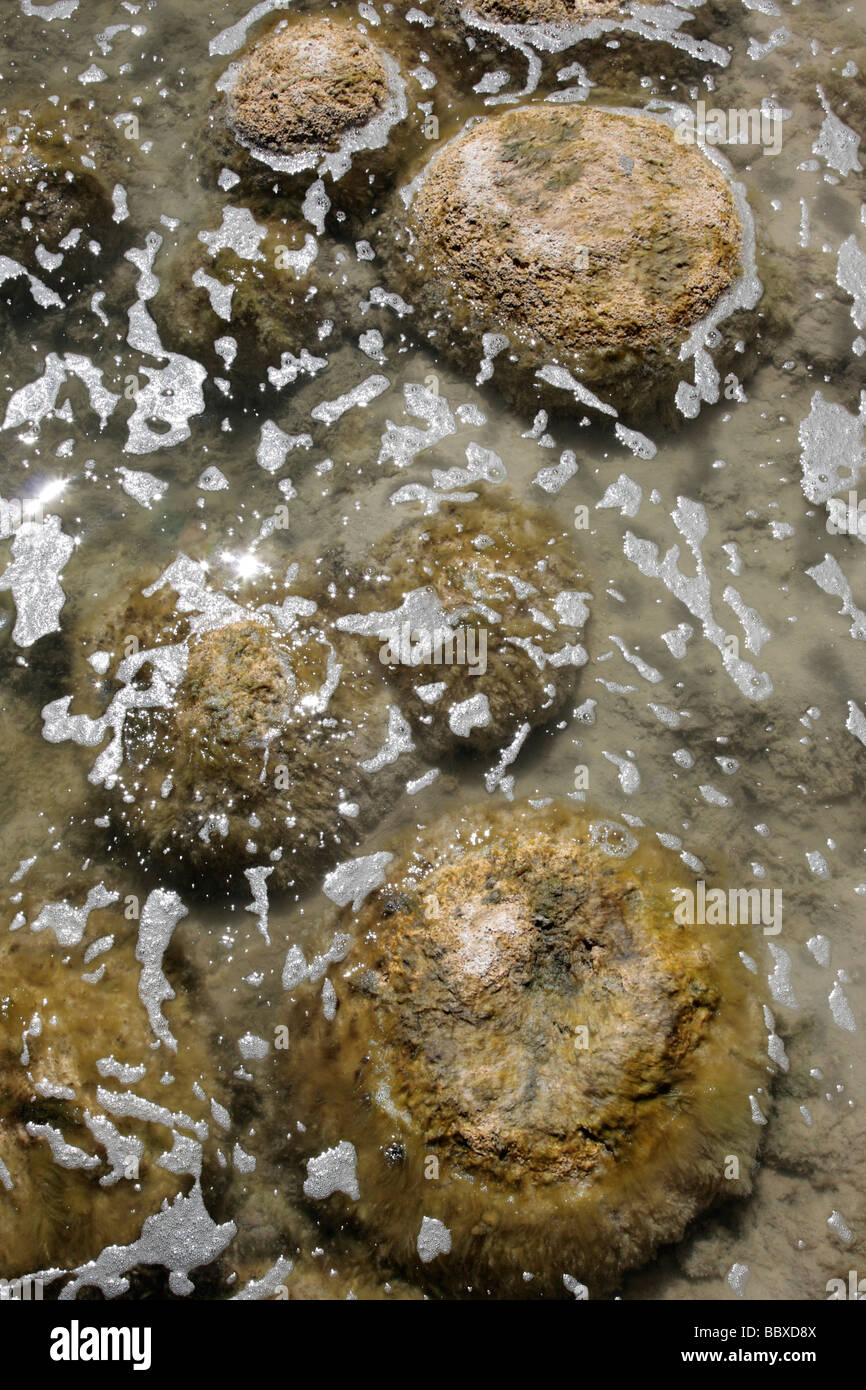 Thrombolites at the edge of Lake Clifton near Perth in Western Australia - Stock Image