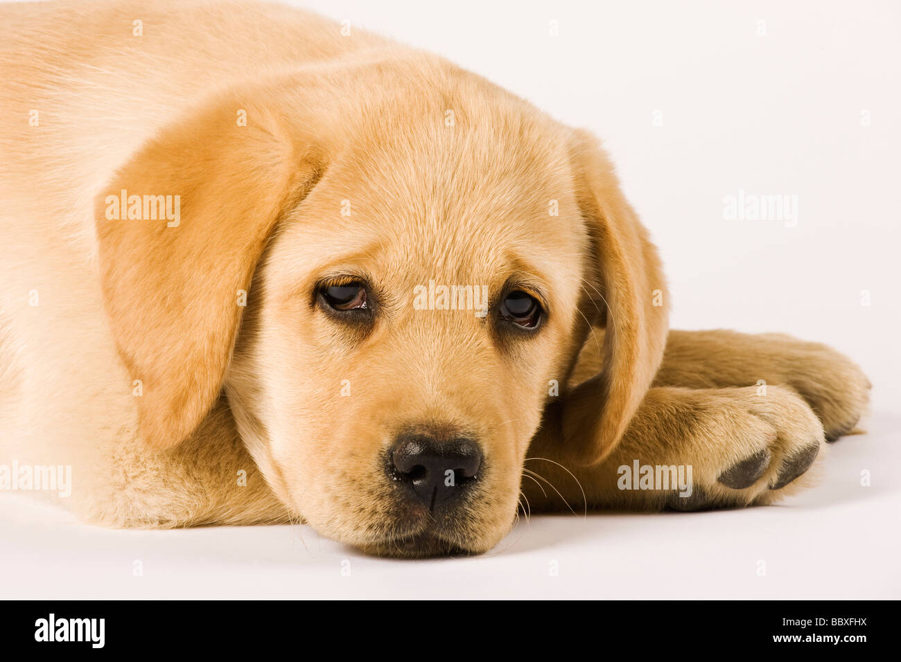 Golden Labrador Retriever puppy Canis familiaris Close up portrait of Labrador Popular working dogs - Stock Image
