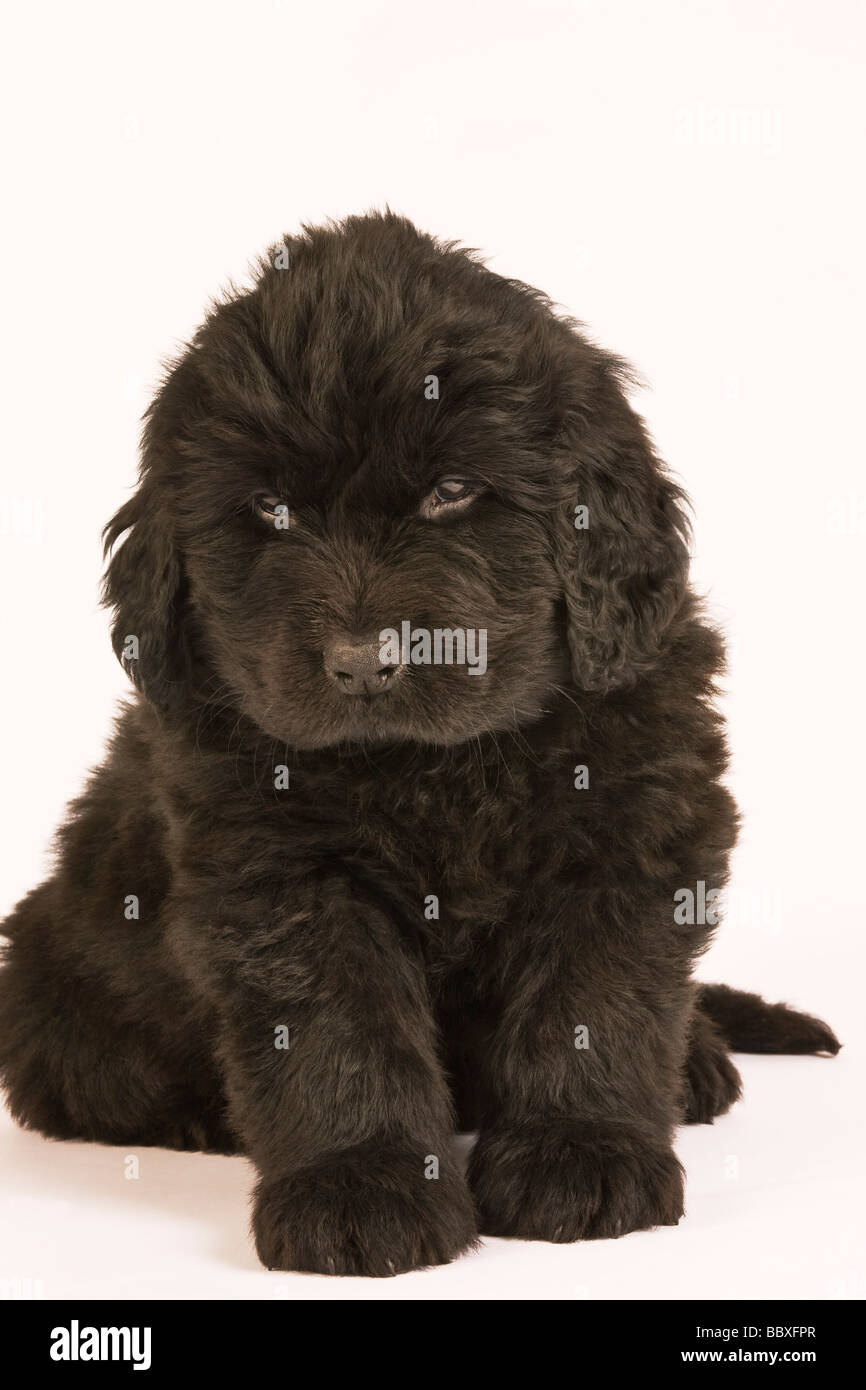 Newfoundland Puppy Canis familiaris Large usually black breed of dog Originated in Newfoundland as a working dog Stock Photo
