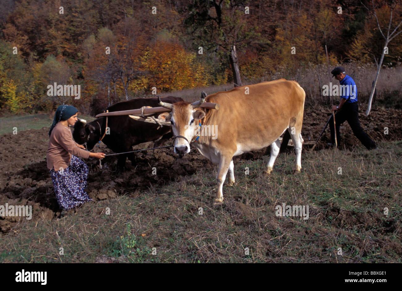 Farmer family plowing with oxes Sakarya Turkey - Stock Image