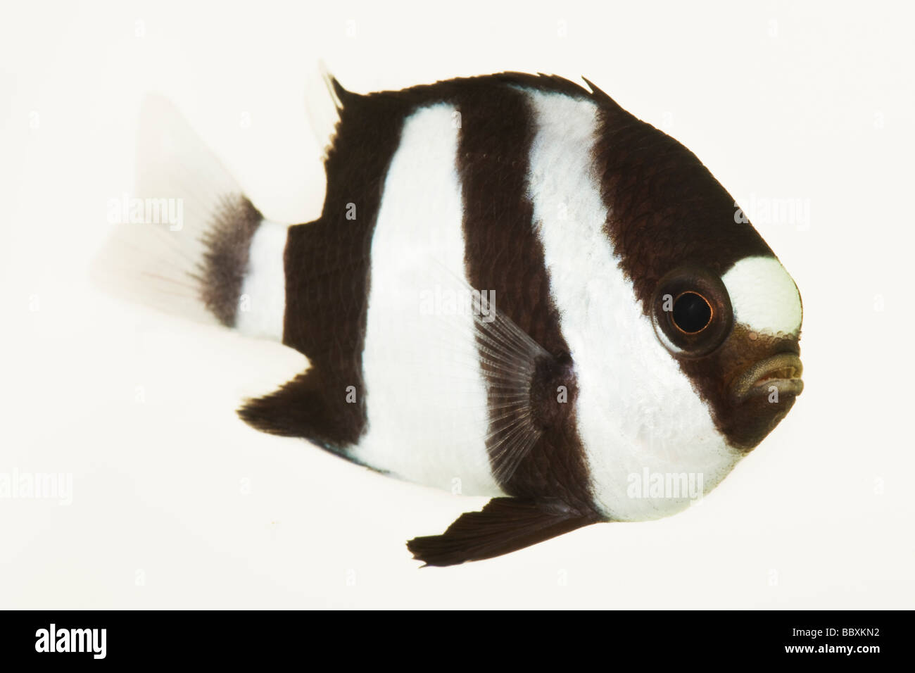 3 Stripe Damsel Dascyllus aruanus Tropical marine reef fish  Indo West Pacific from eastern Africa and the Red Sea - Stock Image