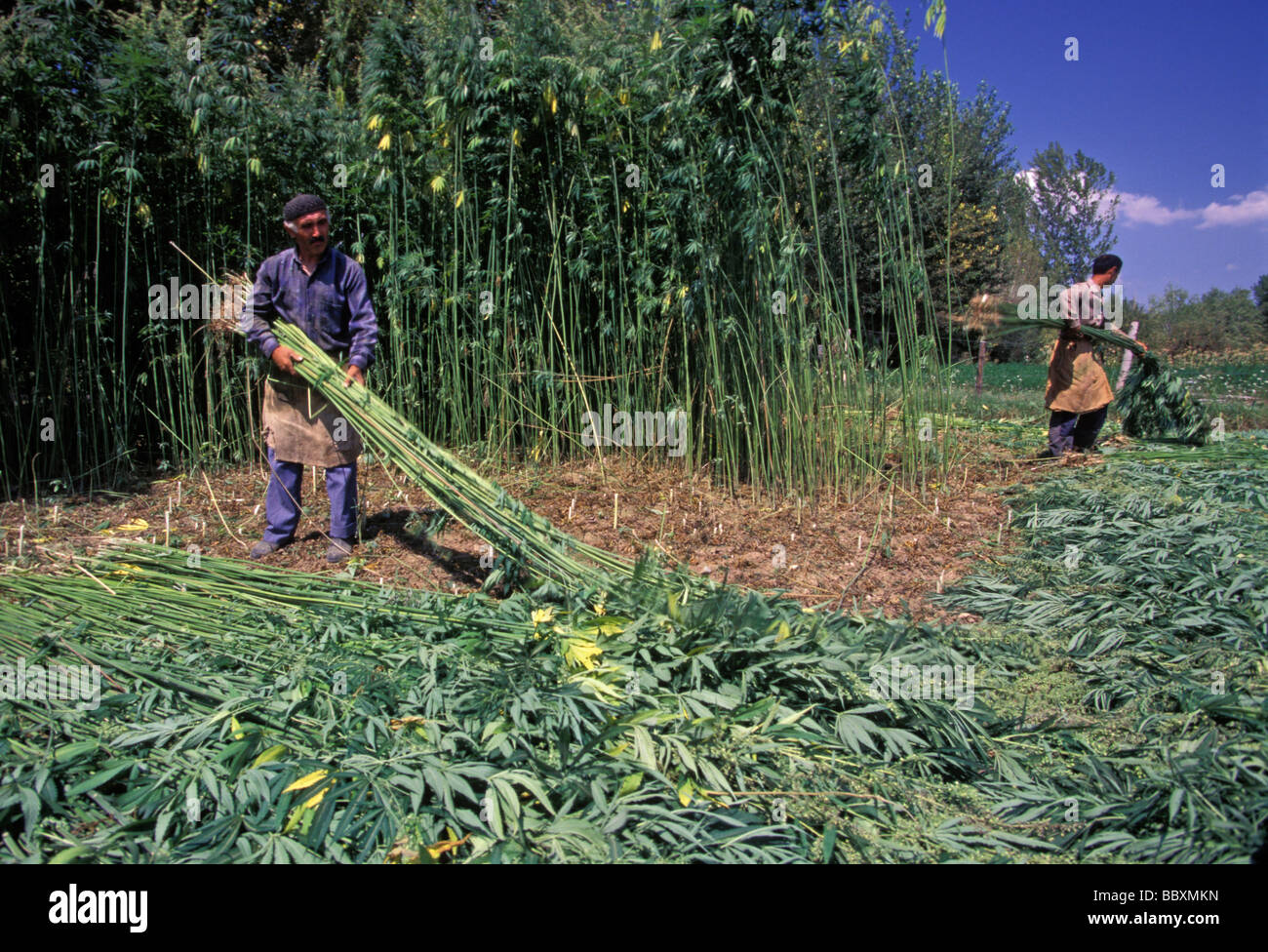 Reed harvest in Bafra Black Sea Turkey - Stock Image