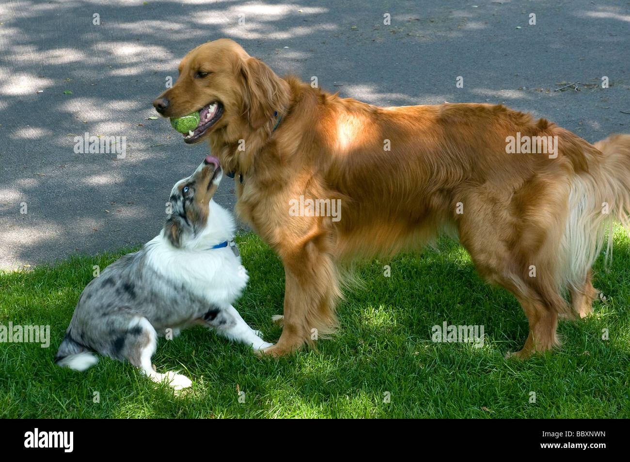 sneakers for cheap 271b5 3ba86 Golden Retriever and Sheltie puppy playing on grass.