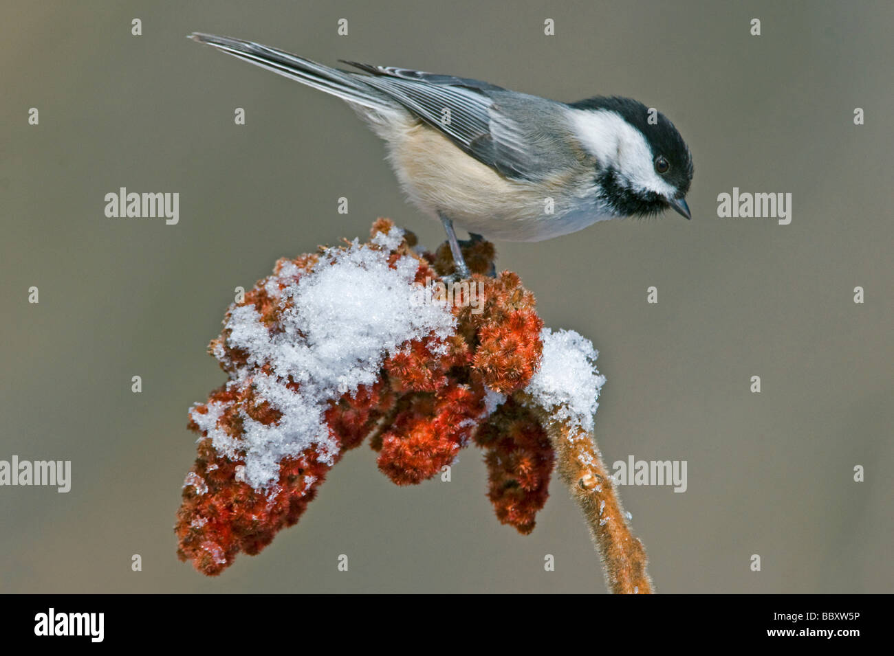 Black Capped Chickadee Parus atricapillus on Staghorn Sumac Rhus typhina E USA, by Skip Moody/Dembinsky Photo Assoc - Stock Image