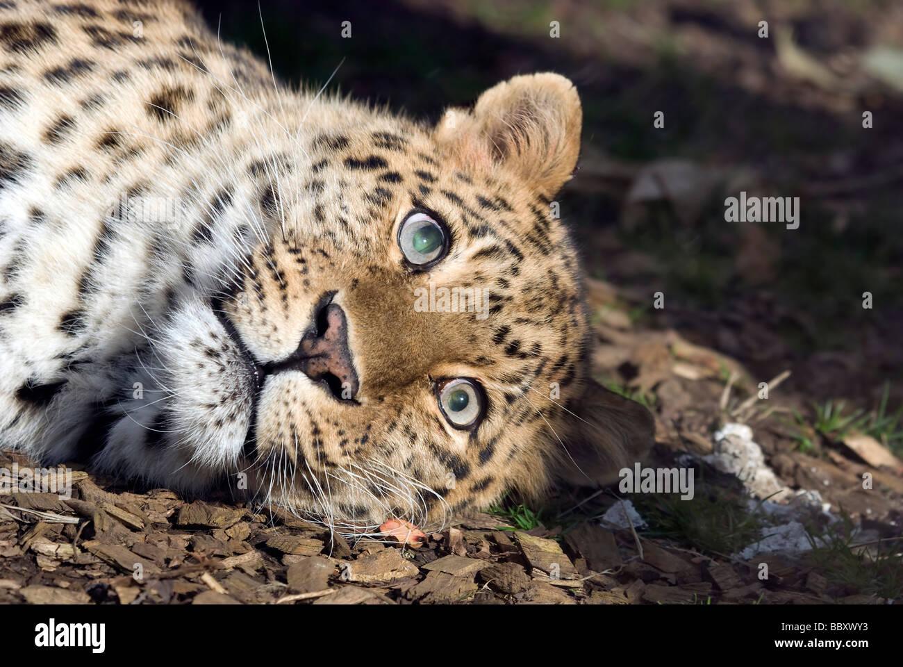 Amur Leopard - Panthera pardus orientalis - Stock Image