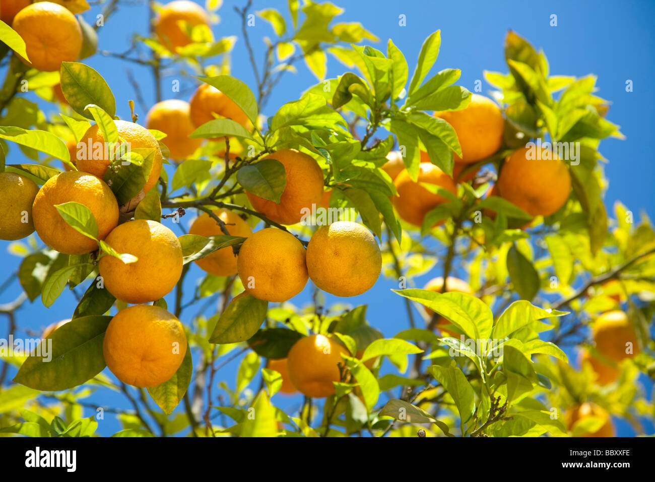 Close-up of organic Spanish Oranges Stock Photo