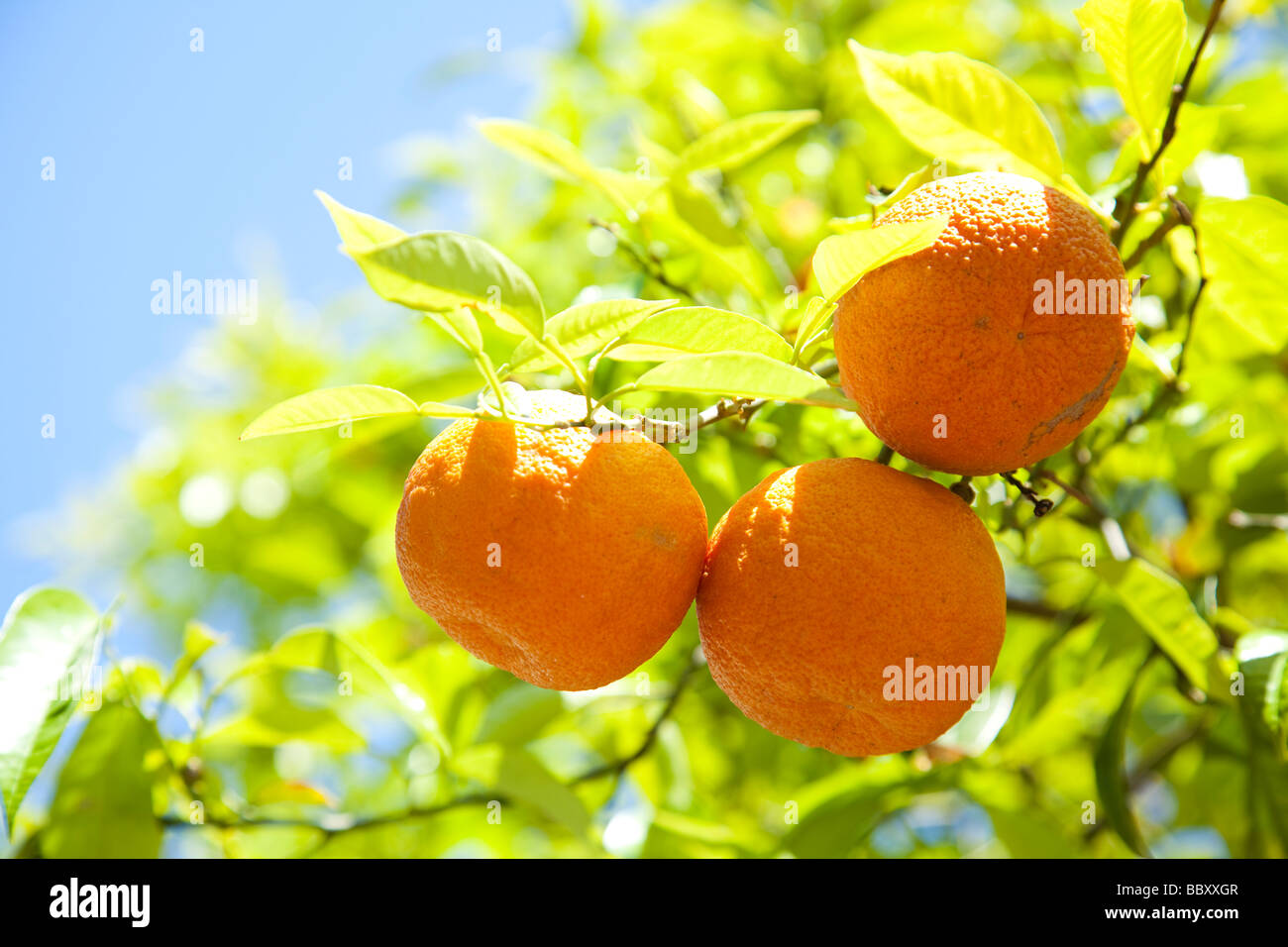 Close-up of organic Spanish Oranges - Stock Image