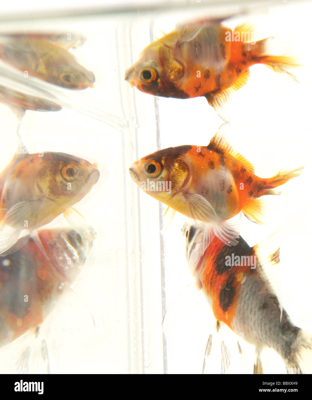 Goldfish reflections Carassius auratus auratus fishtank in a studio Stock Photo