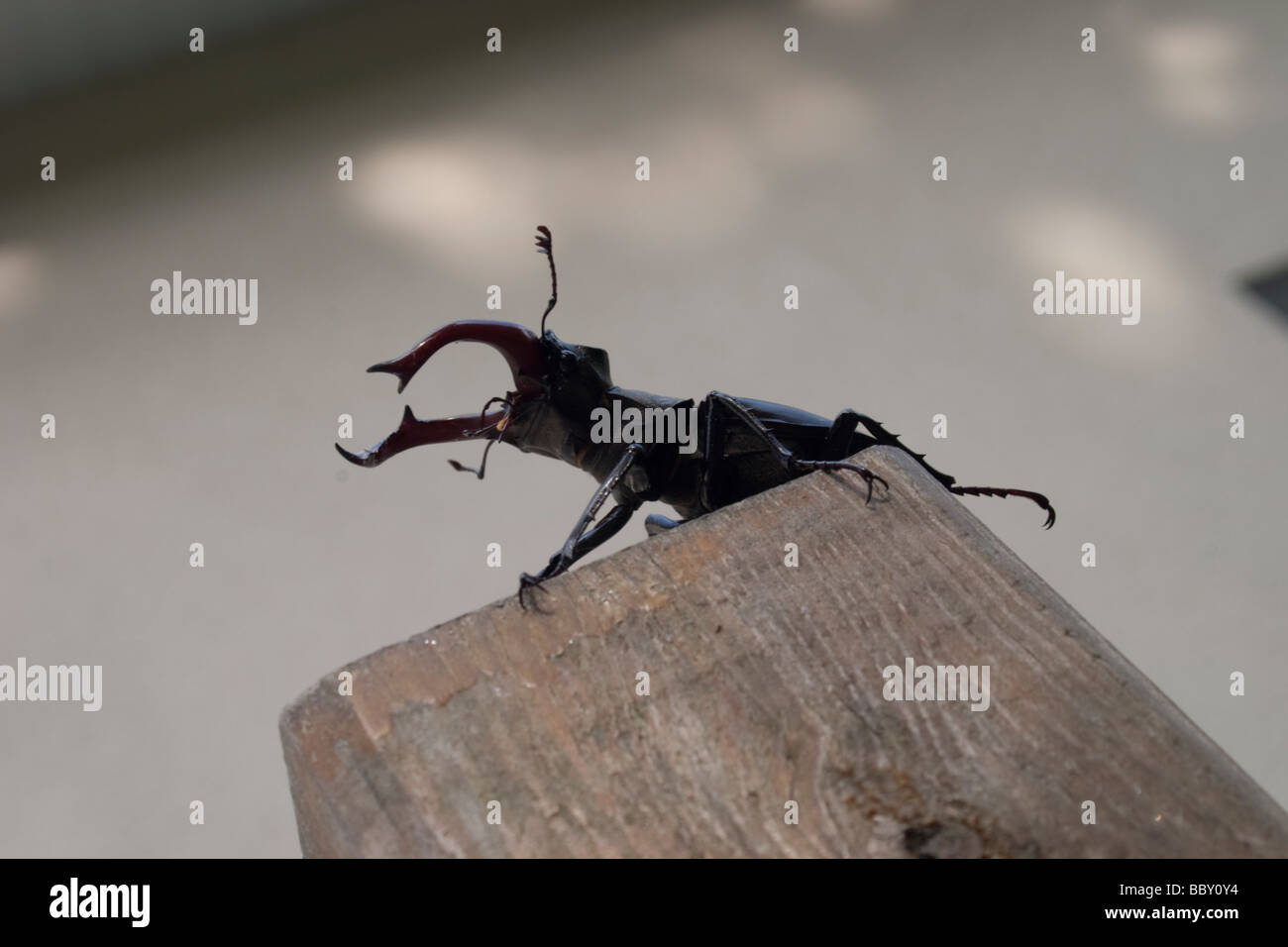 A male stag beetle in the garden - Stock Image