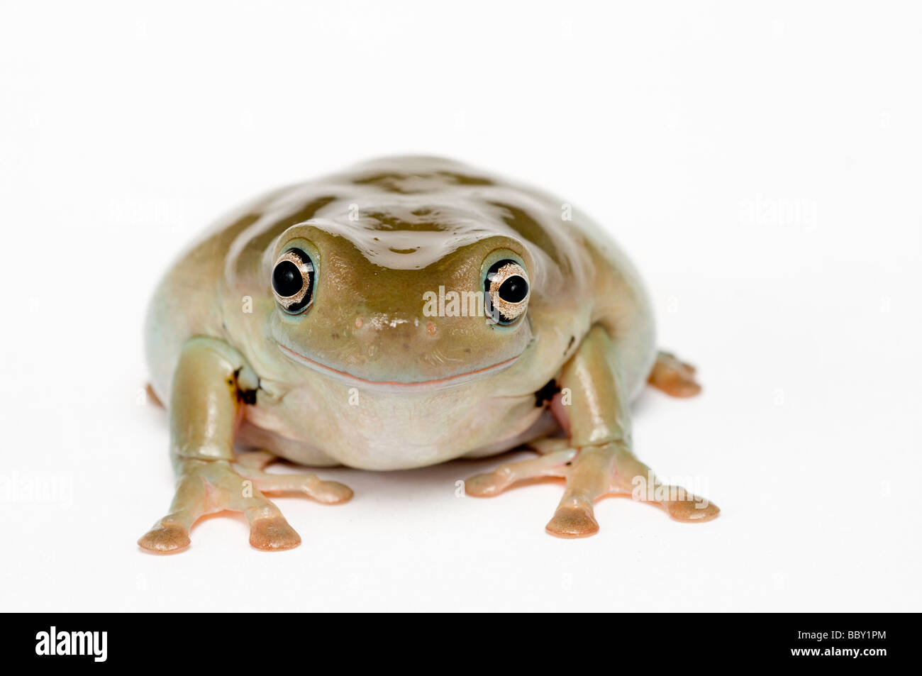 WHITE'S TREE FROG Litoria caerulea Stock Photo