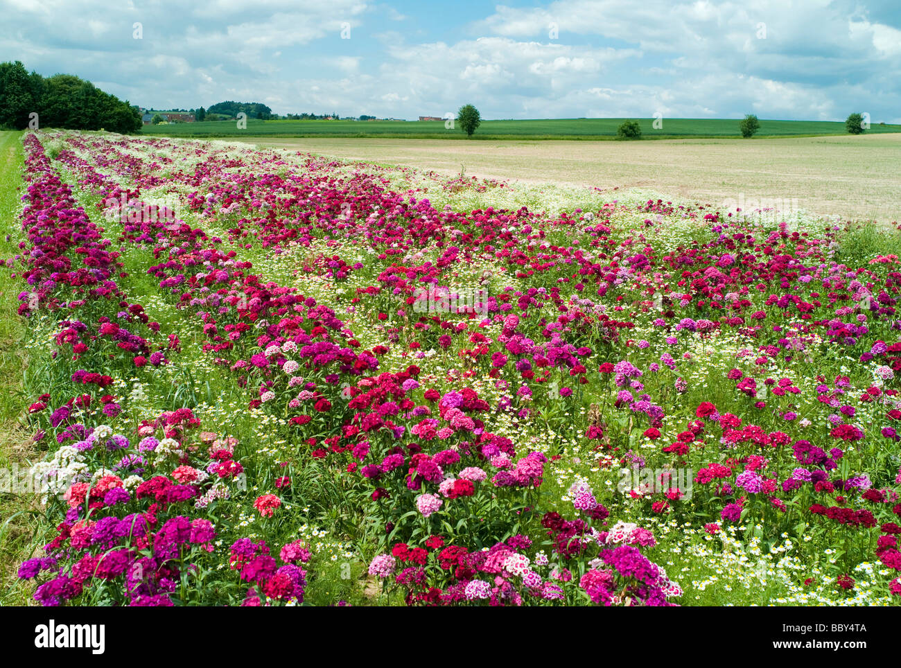 A field with Sweet williams (Dianthus barbatus) and Daisies (Leucanthemum), Hesse, Germany - Stock Image