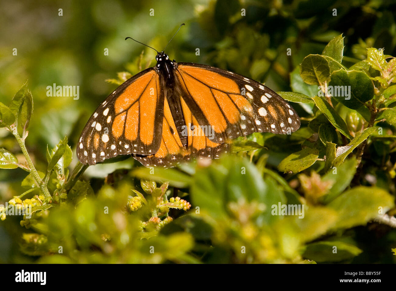 Monarch Butterfly - Pacific Grove, California. - Stock Image