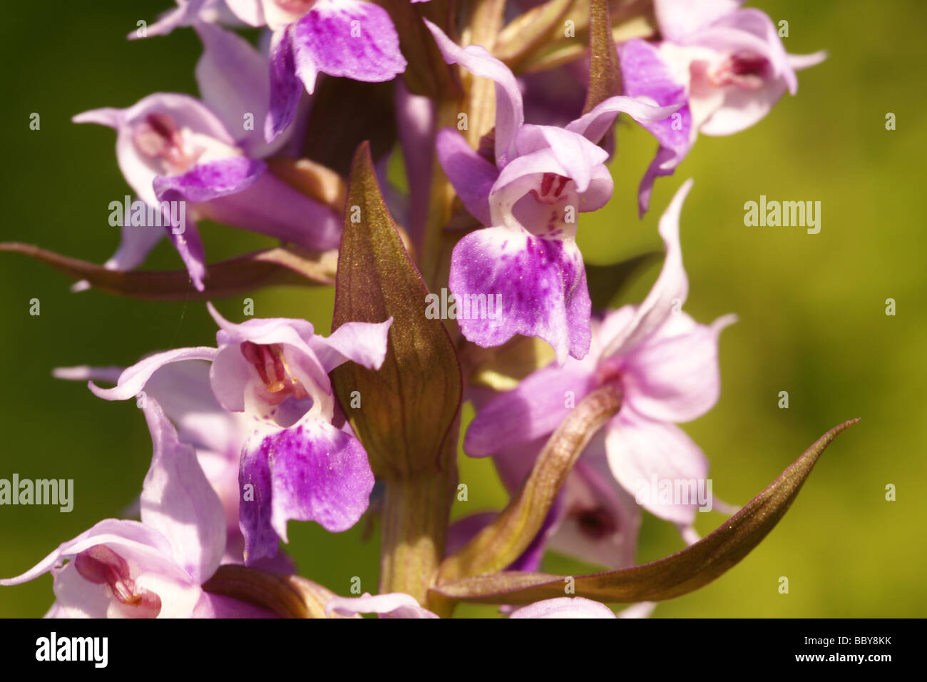 Orchid family (Dactylorhiza aristata) - Stock Image