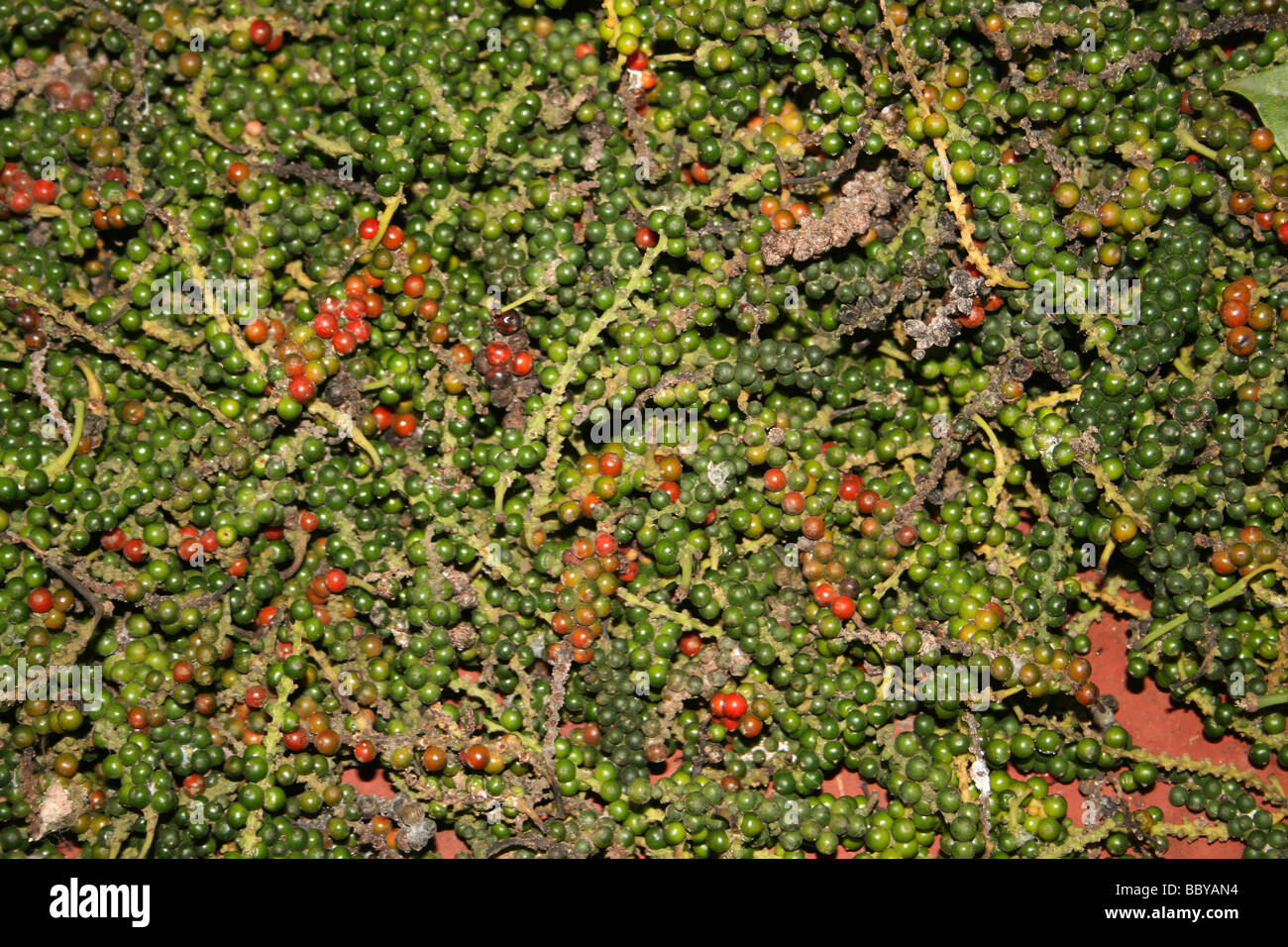 Drying Pepper Piper nigrum Berries In A Spice Plantation, Periyar National Park, Kerala, India - Stock Image