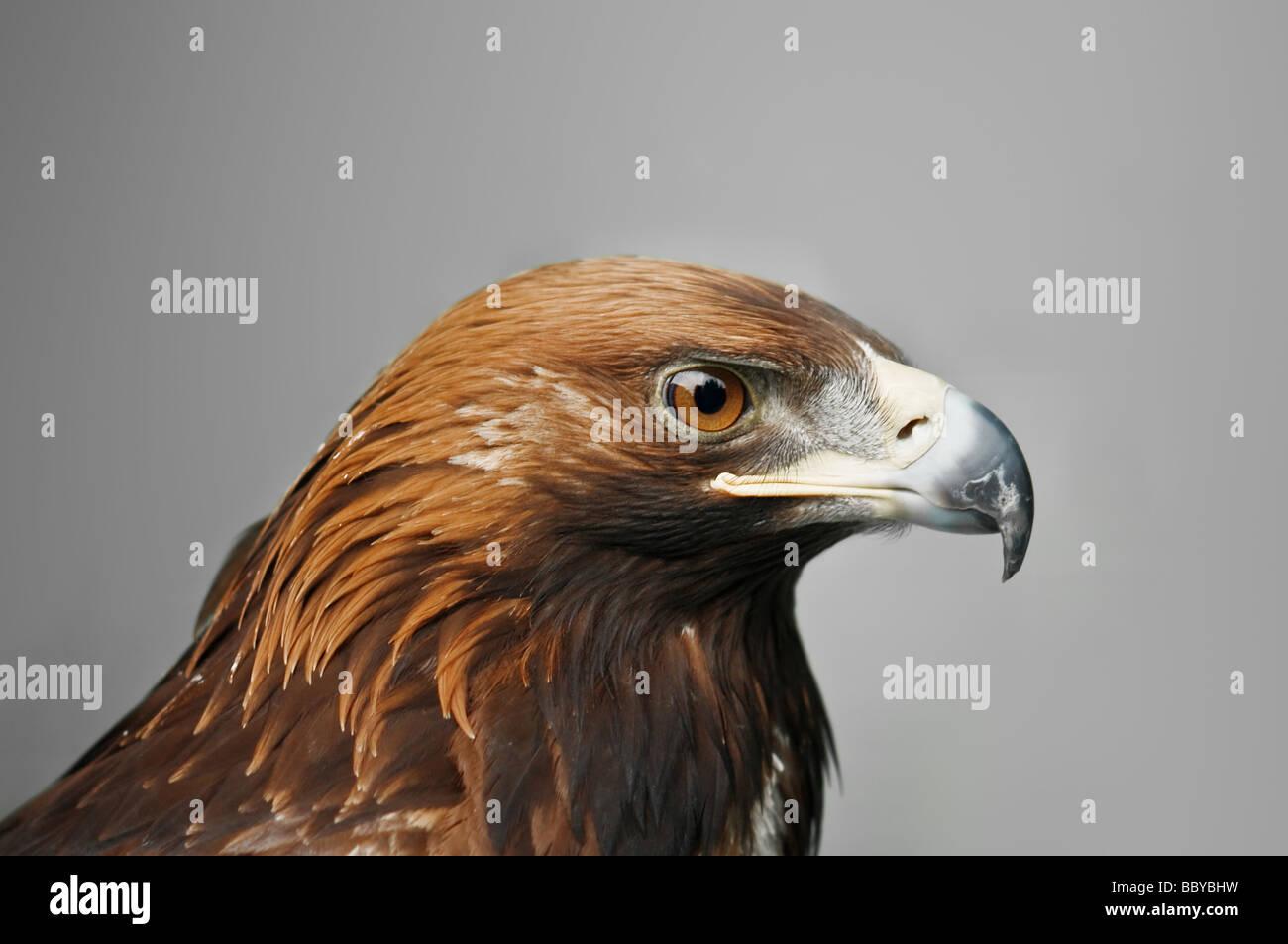 golden eagle isolated on grey background - Stock Image