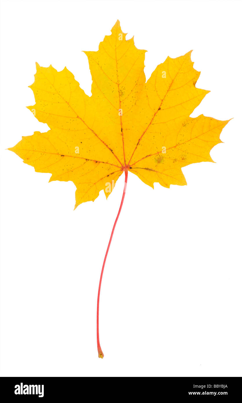 Autumn Maple leaf. Stock Photo