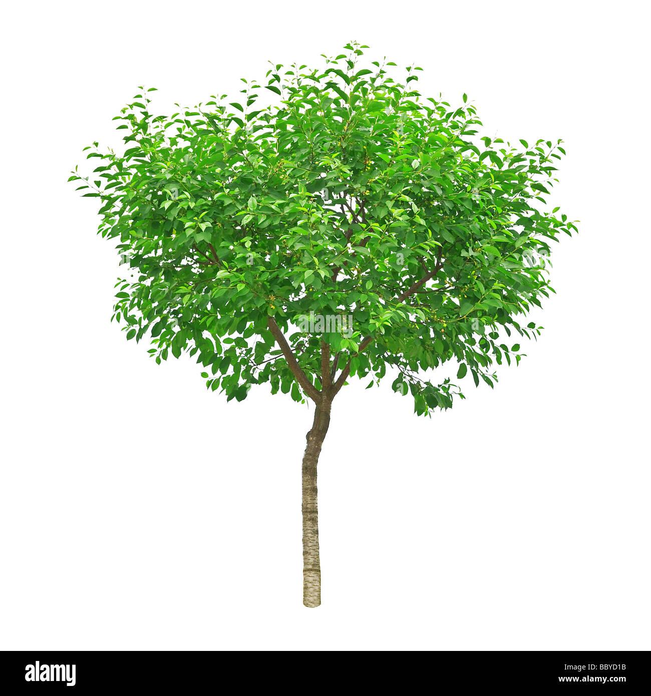 tree isolated on the white background - Stock Image