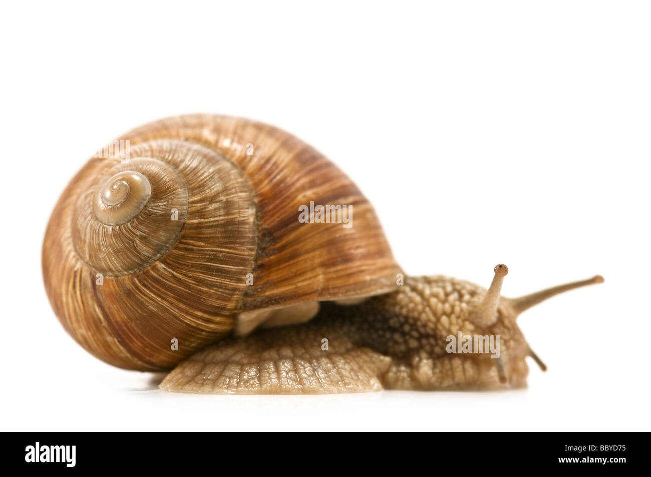 snail isolated on the white background - Stock Image