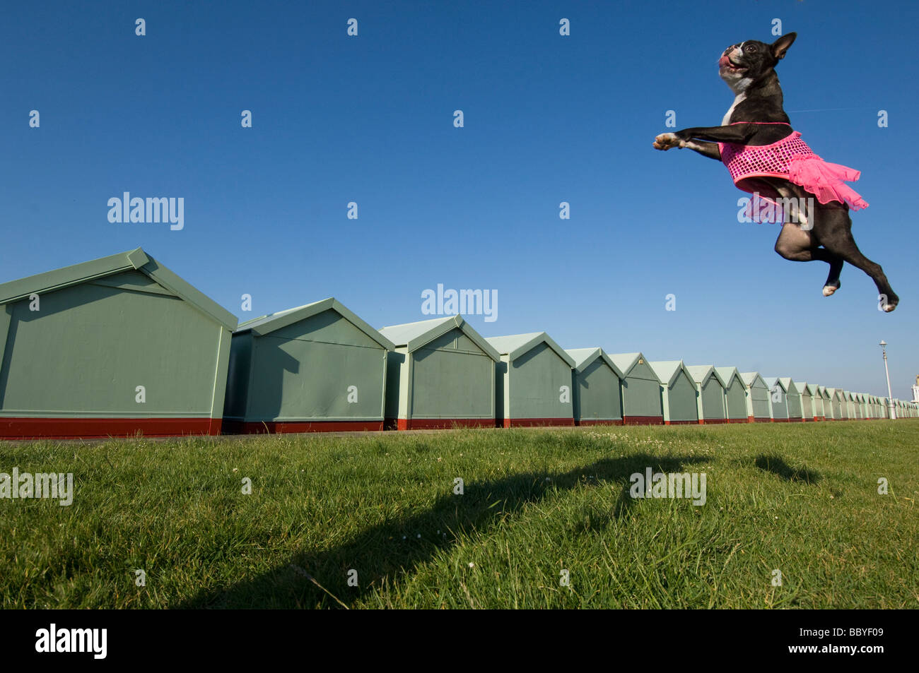 A Boston Terrier dog in a pink tutu leaping in the air by beach huts at the seaside at Brighton and Hove - Stock Image