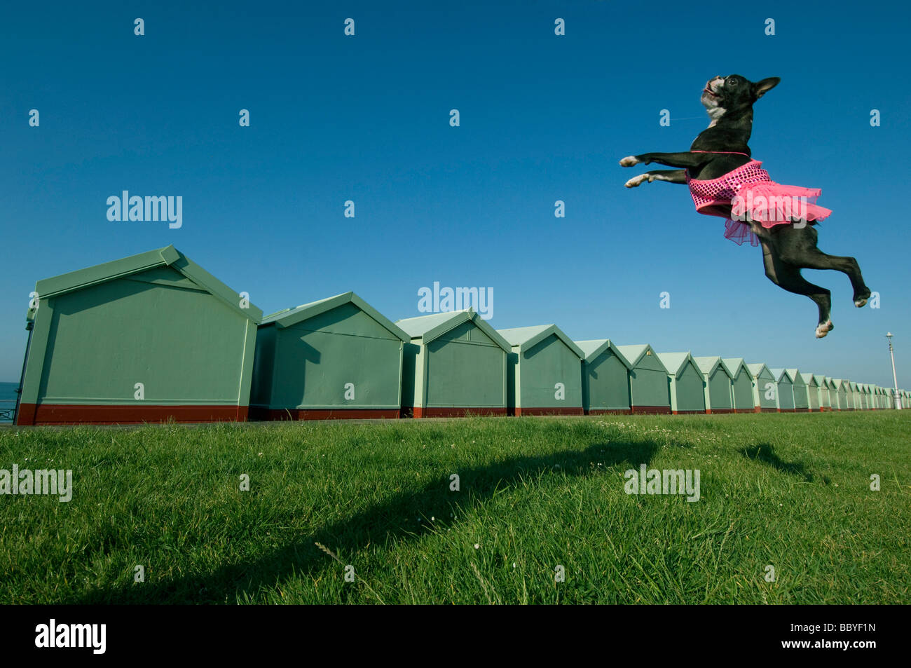A Boston Terrier dog in a pink tutu leaping in the air by beach huts at the seaside - Stock Image