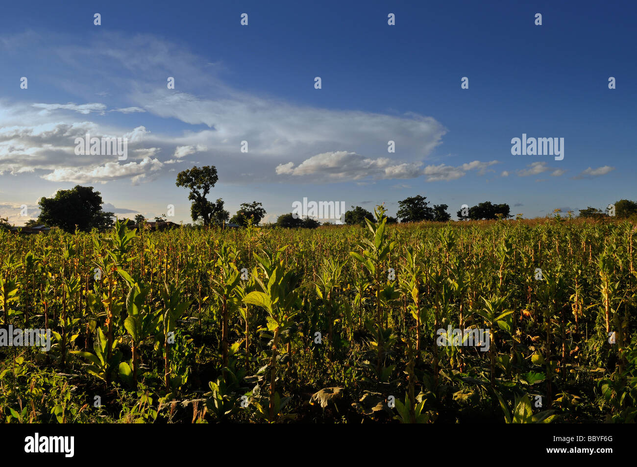 Tobacco plantation in Malawi Africa - Stock Image