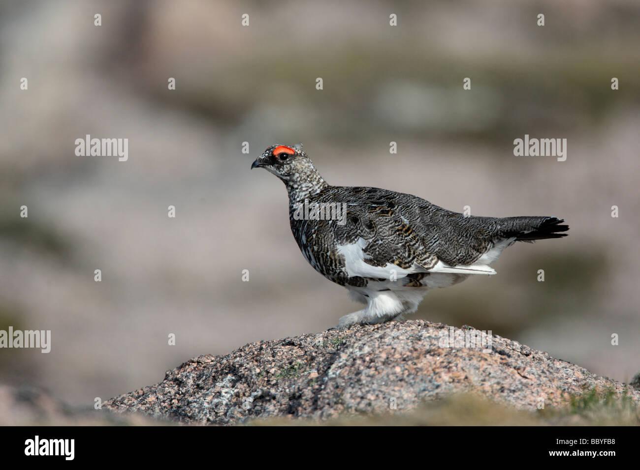 Ptarmigan Lagopus mutus male Scotland spring - Stock Image