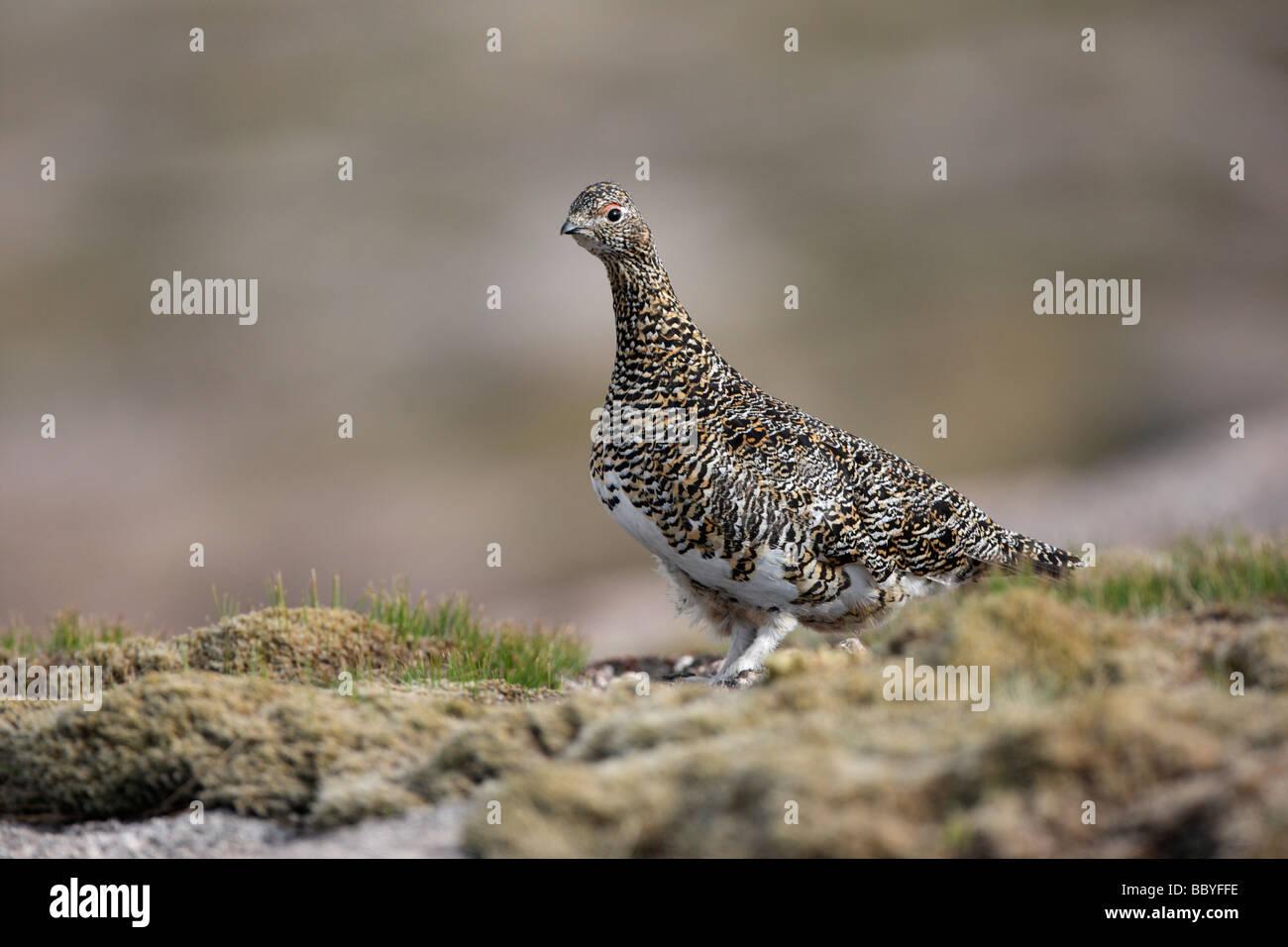 Ptarmigan Lagopus mutus female Scotland spring - Stock Image