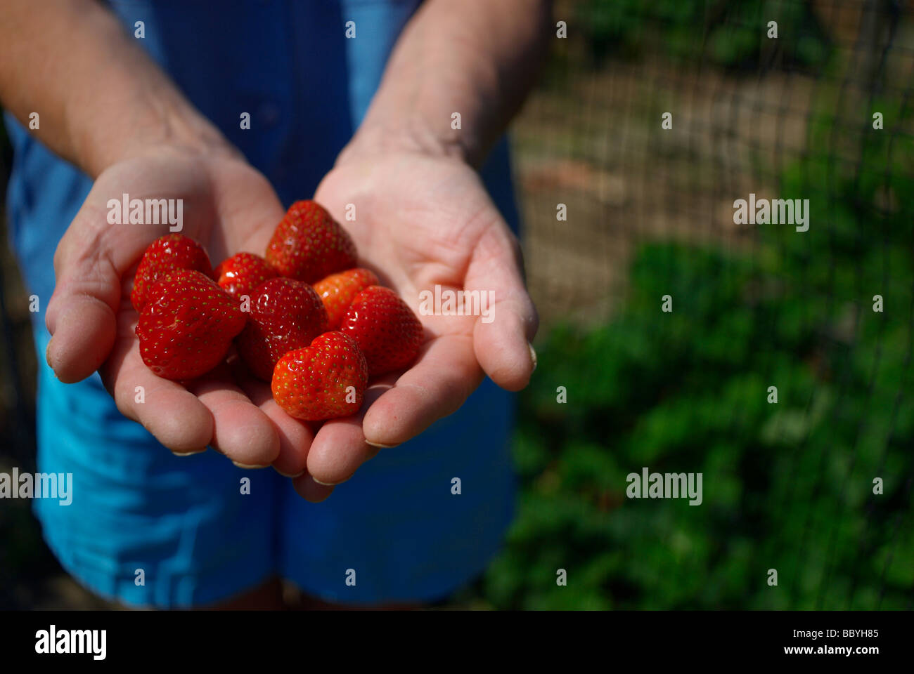 Woman's hands holding ripe strawberries Stock Photo