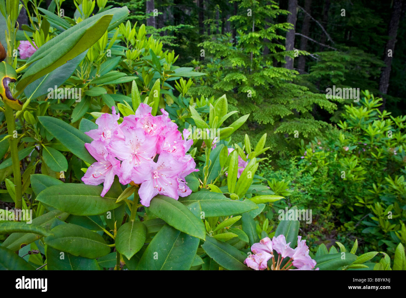 Wild Rhododendron growing in temperate rain forest in the Cascade Mountains of Oregon - Stock Image