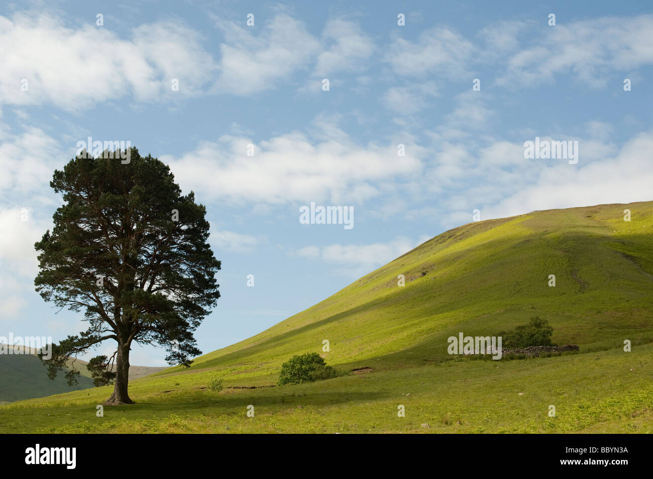 Pinus sylvestris. Single scots pine tree in the rolling hills of the scottish border countryside. Scotland - Stock Image