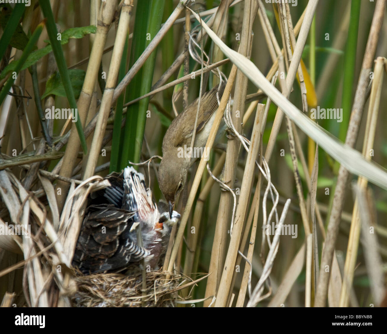 A Reed Warbler (Acrocephalus scirpaeus) removing faecal sac from young Cuckoo  (Cuculus canorus). - Stock Image