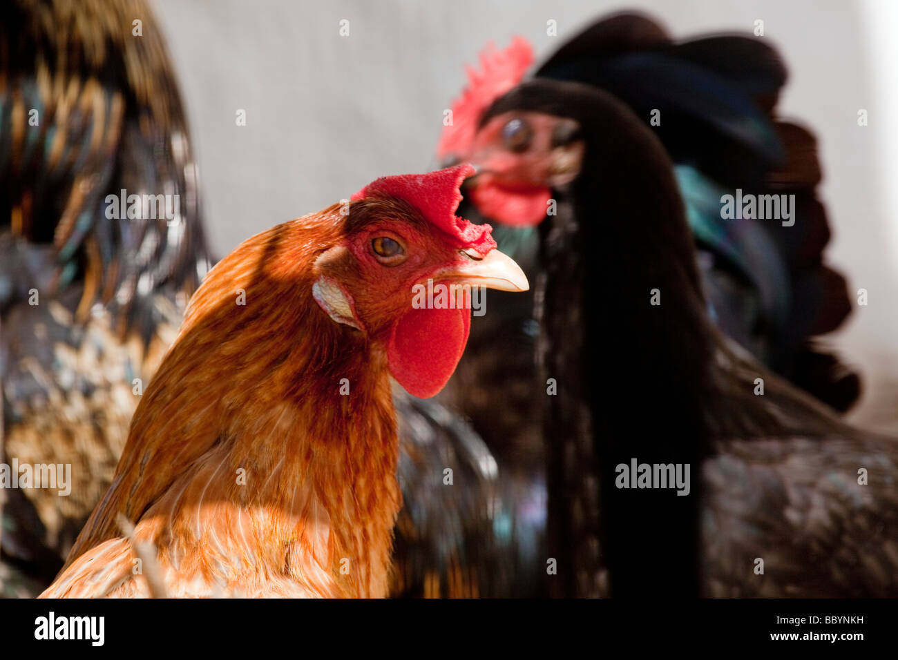Gallinas de corral roosters poultry - Stock Image