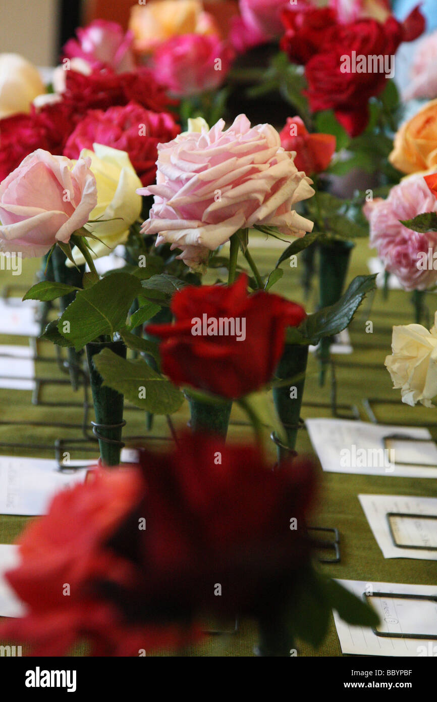 Roses at a horticultural show in vases. They are judged before being awarded prizes for the growers. Stock Photo