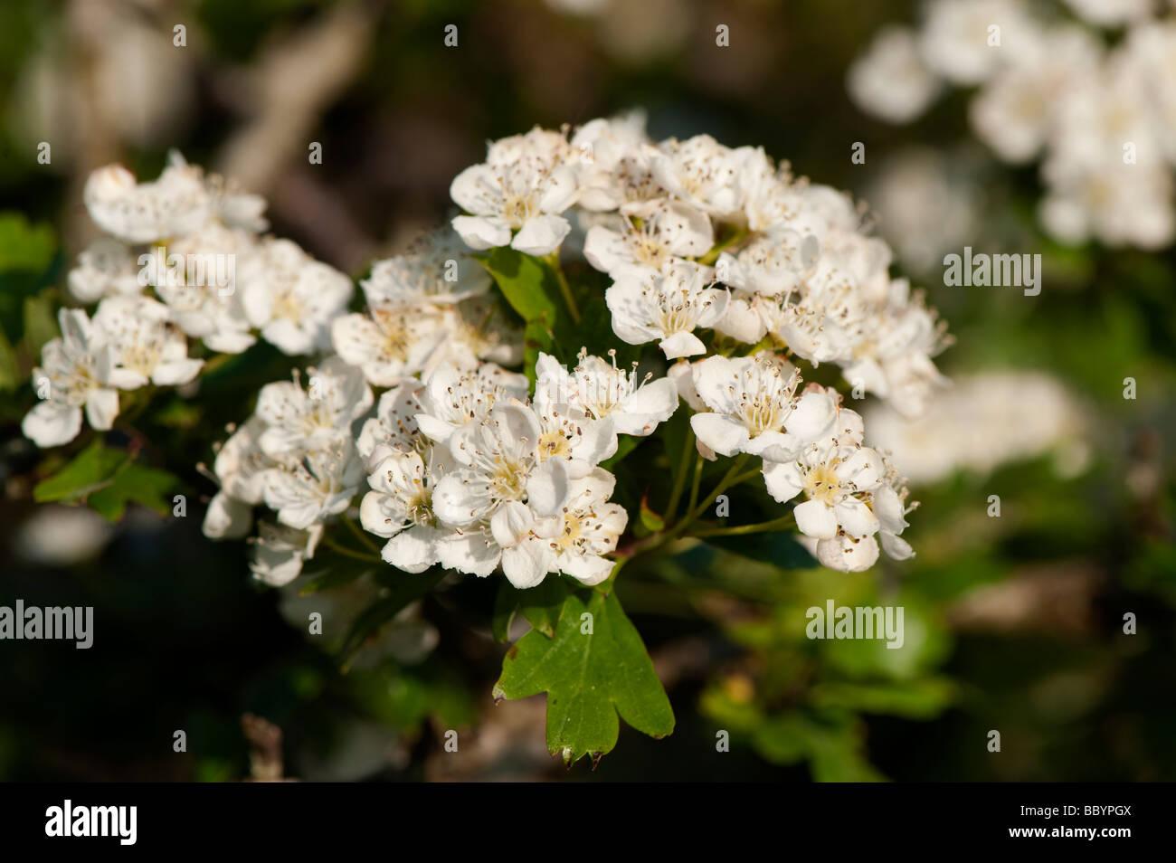 Common Hawthorn Crataegus monogyna blossom in spring England - Stock Image