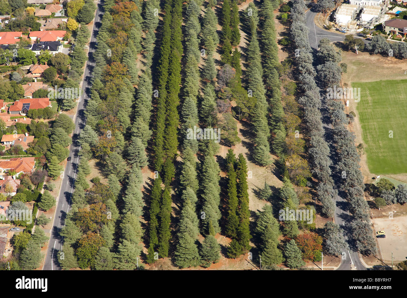 Rows of Conifers Haig Park Canberra ACT Australia aerial - Stock Image