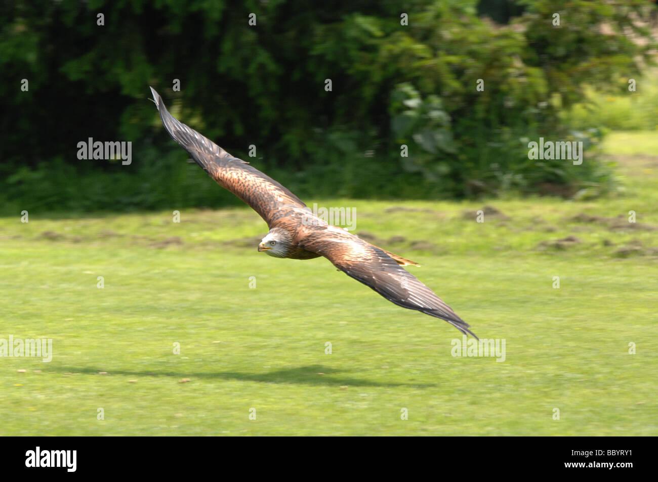 Red Kite in flight - Stock Image