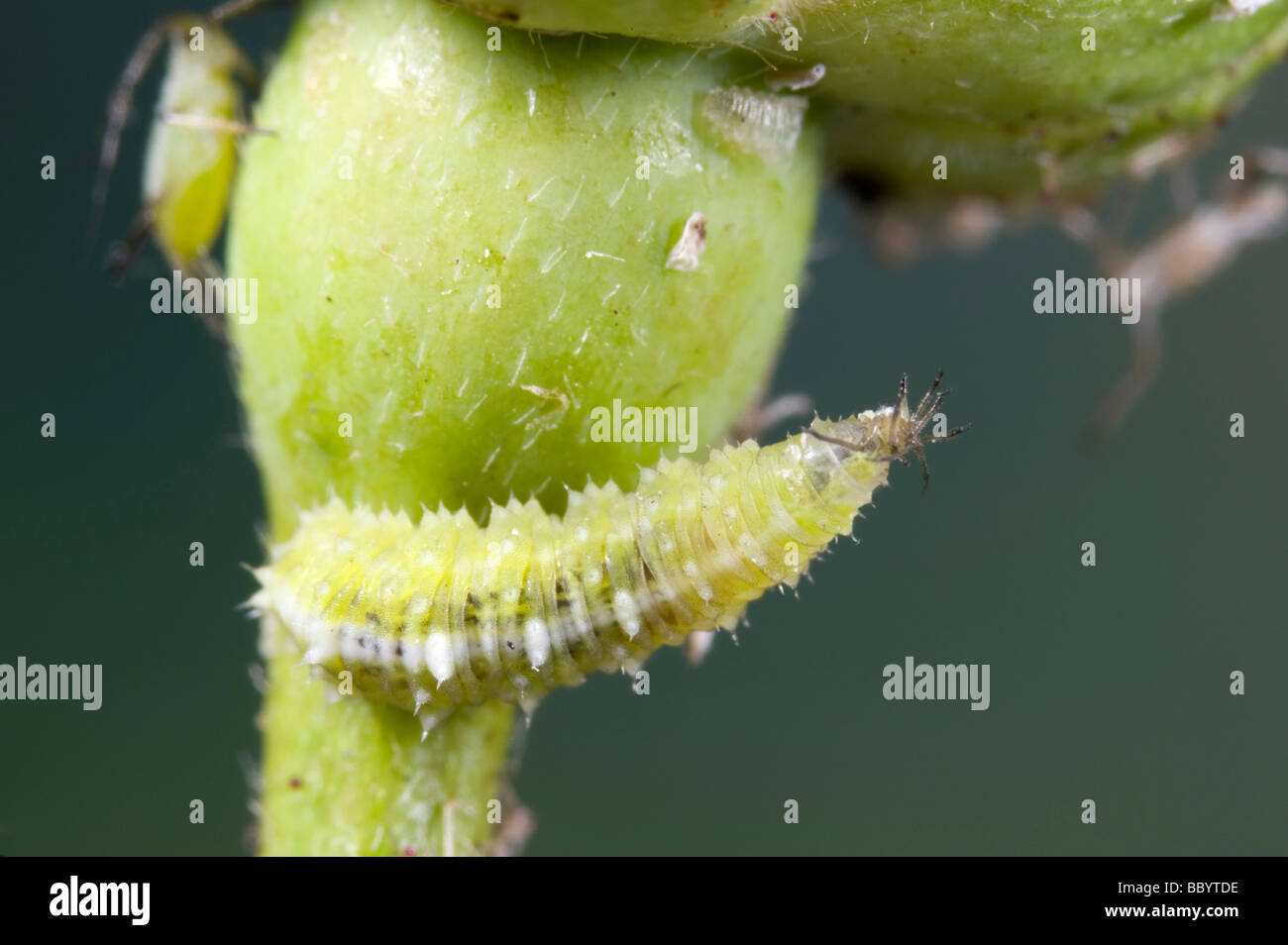 Hover fly larva eating an aphid - Stock Image