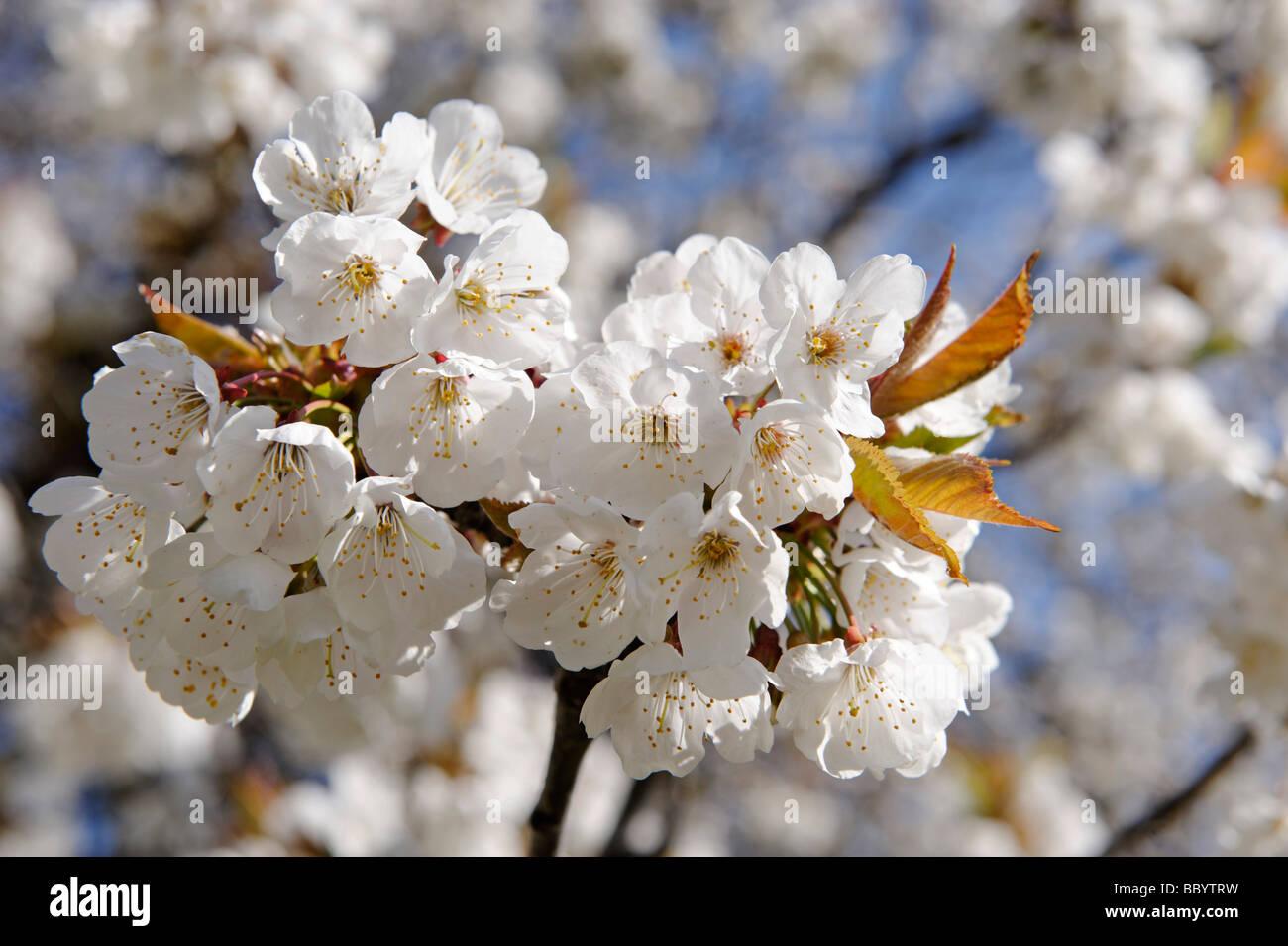 Blooming Wild Cherry (Prunus avium) near the hotel Knollhof, Gufidaun, Eisack Valley, South Tyrol, Italy, Europe - Stock Image