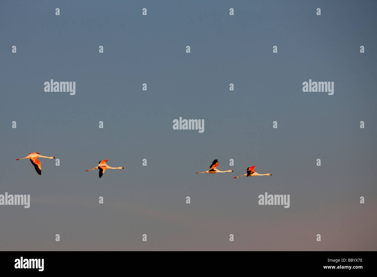 Andean Flamingoes Flying over the Atacama Desert, Chile - Stock Image
