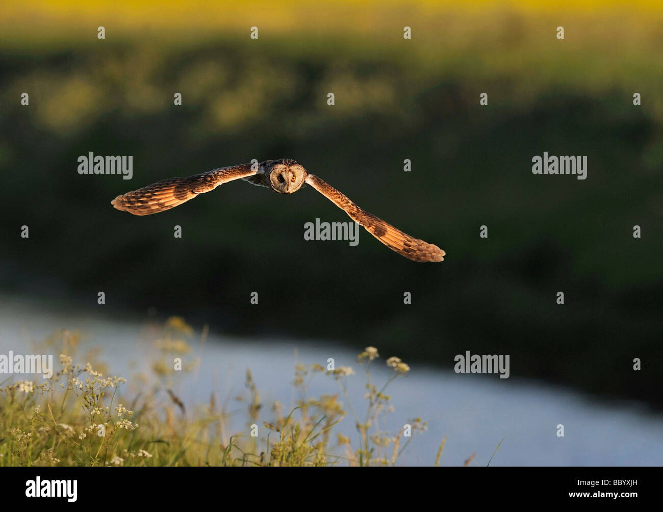 Short Eared Owl. Asio flammeus hunting. French: Hibou des marais German: Sumpfohreule Spanish: Búho campestre - Stock Image