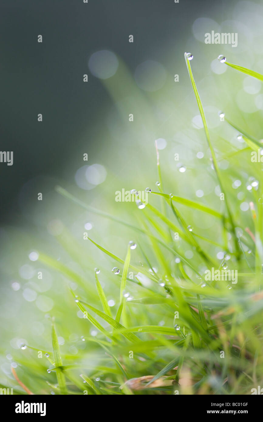 Dew or rain on blades of grass - Stock Image