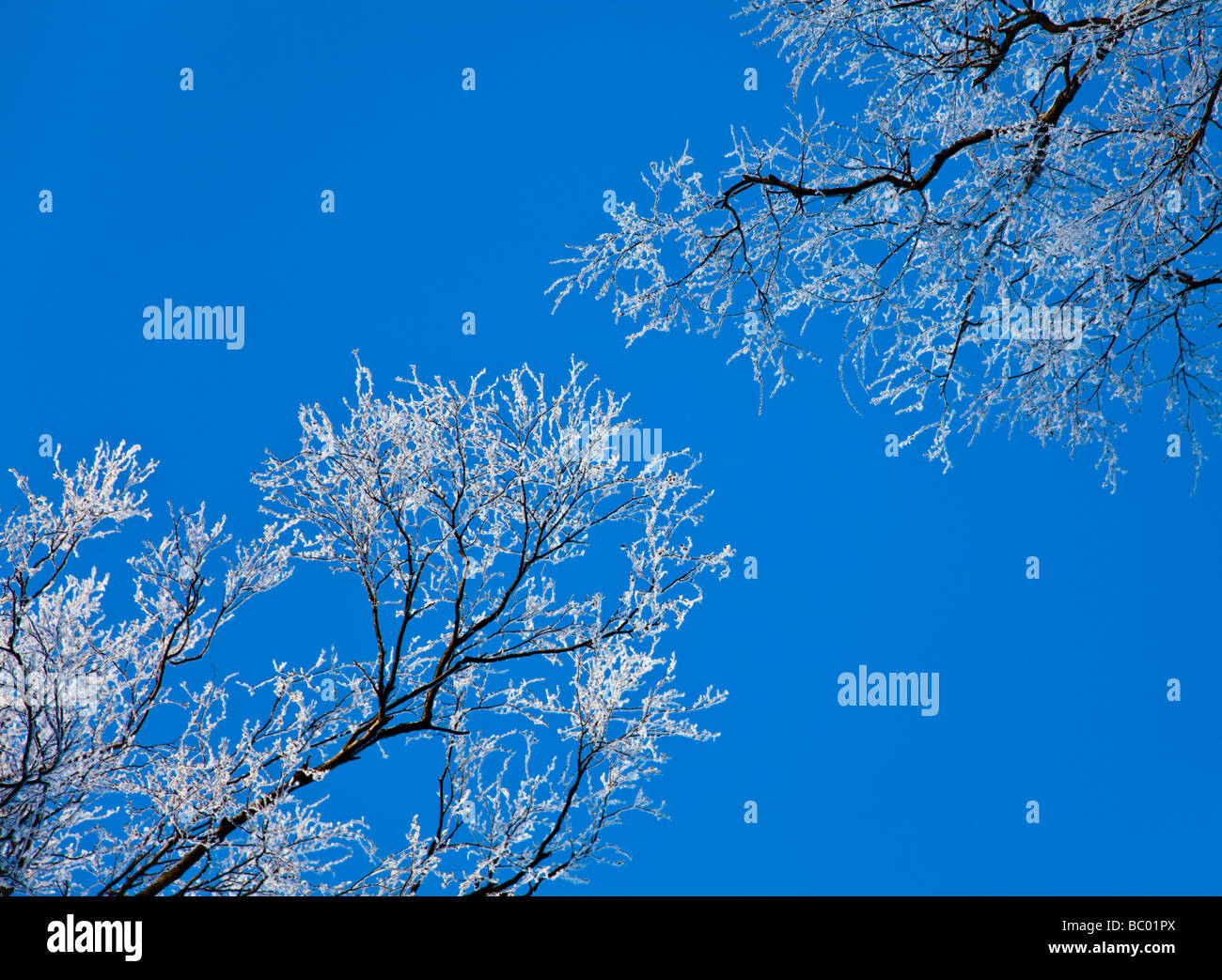 Trees in winter with hoar frost - Stock Image
