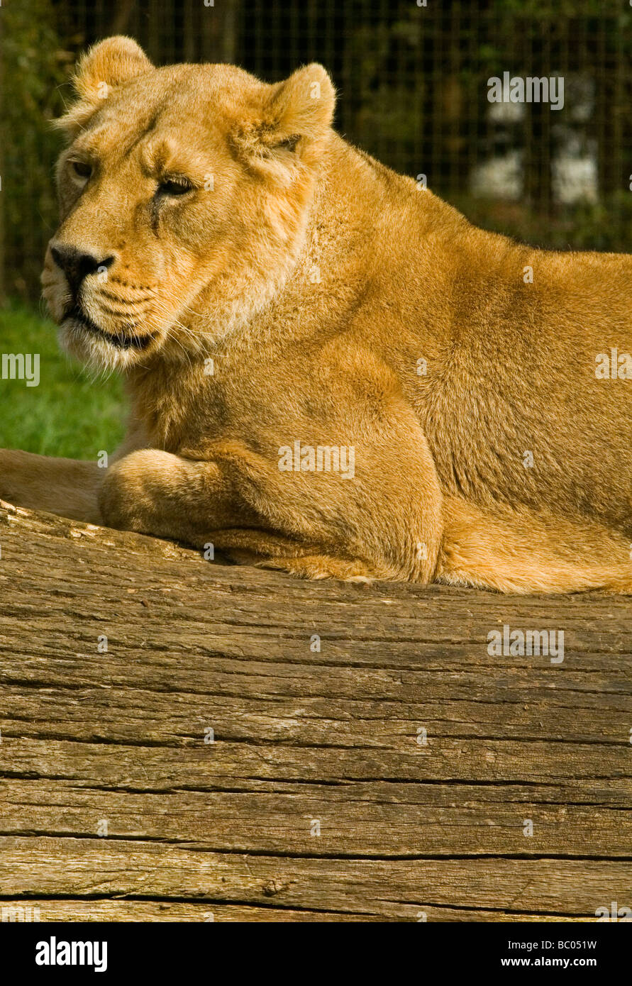 Lioness Panthera leo is one of four big cats in the genus Panthera, and a member of the family Felidae. Seen resting - Stock Image
